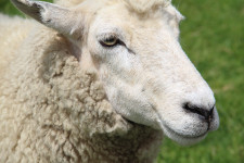 wool is the best pile material for carpets